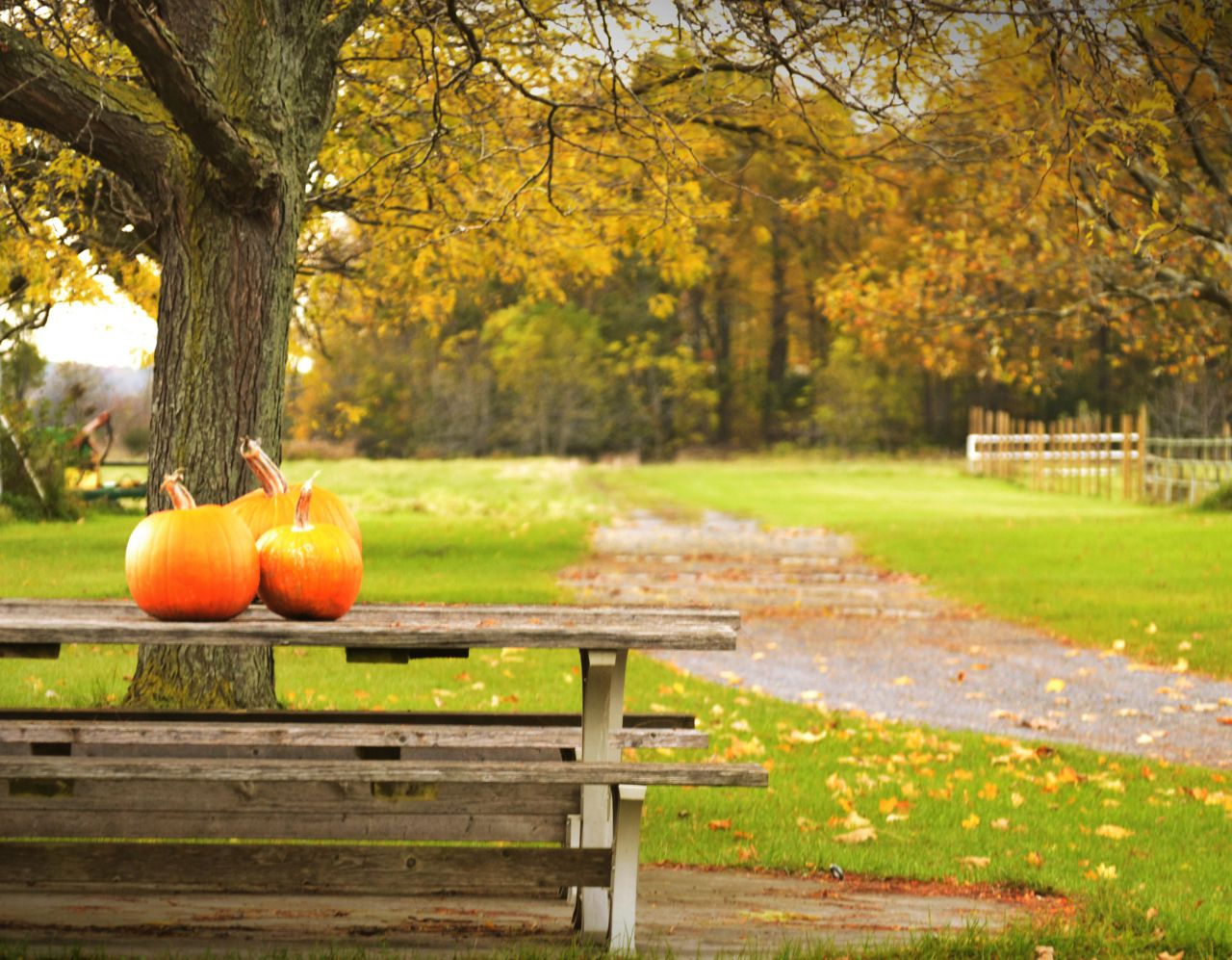 Pumpkins in the pasture in Clifton Springs (photo)